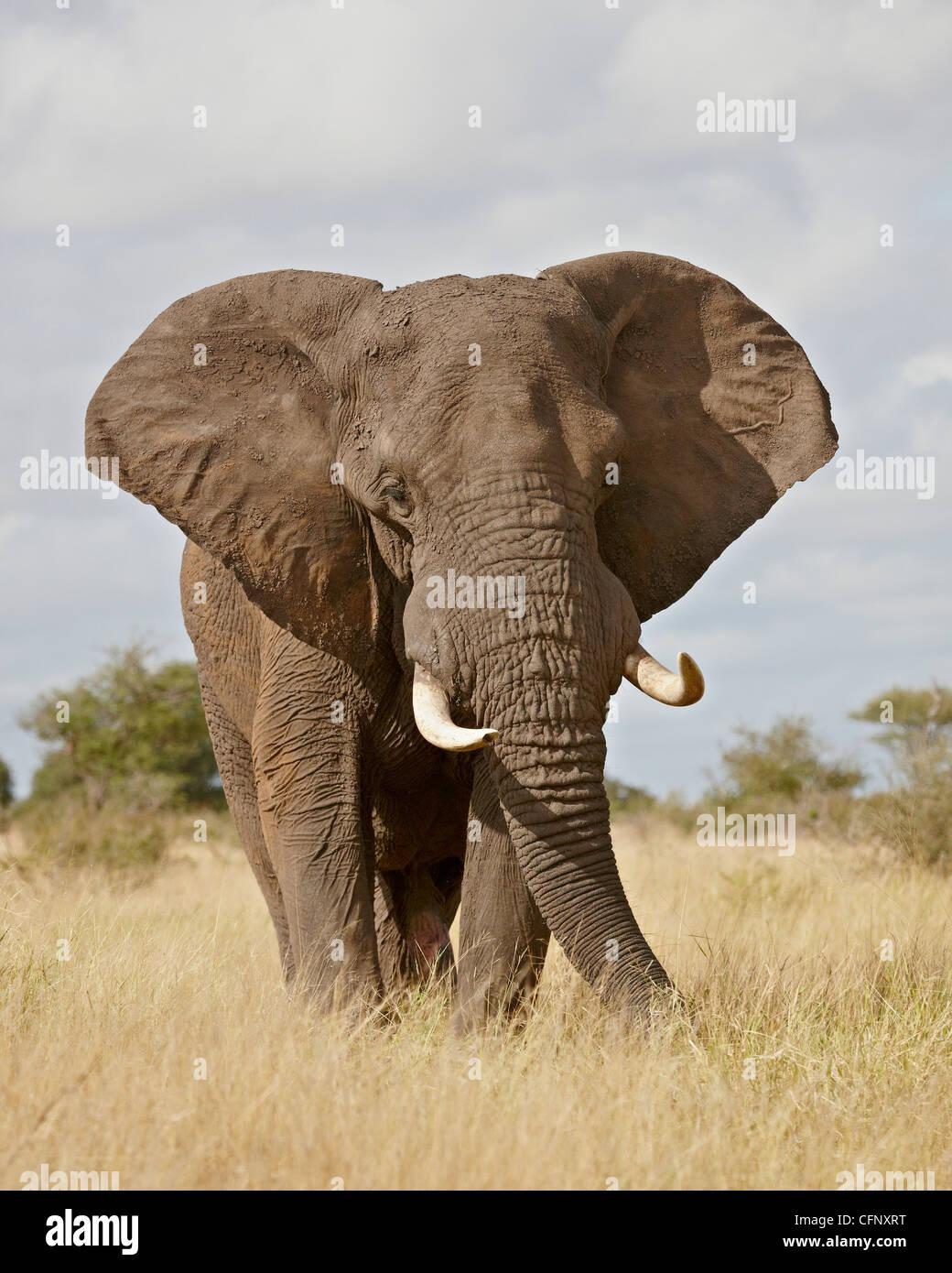 African elephant (Loxodonta africana), Kruger National Park, South Africa, Africa - Stock Image