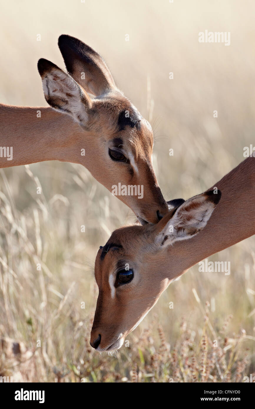 Two young impala (Aepyceros melampus) grooming, Kruger National Park, South Africa, Africa Stock Photo