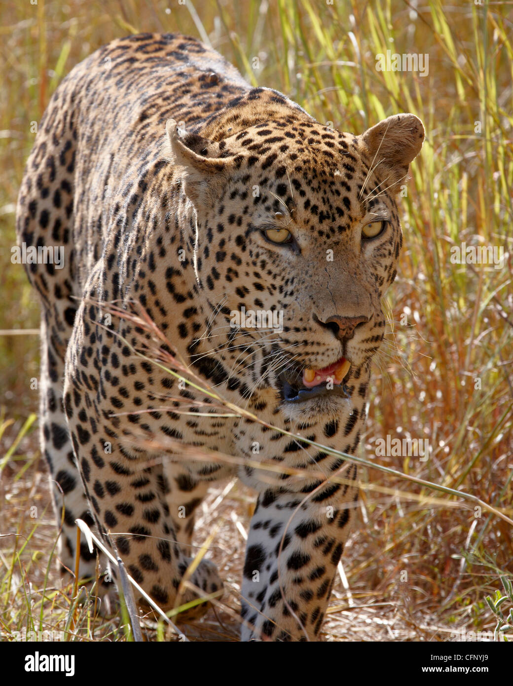 Male leopard (Panthera pardus), Kruger National Park, South Africa, Africa - Stock Image