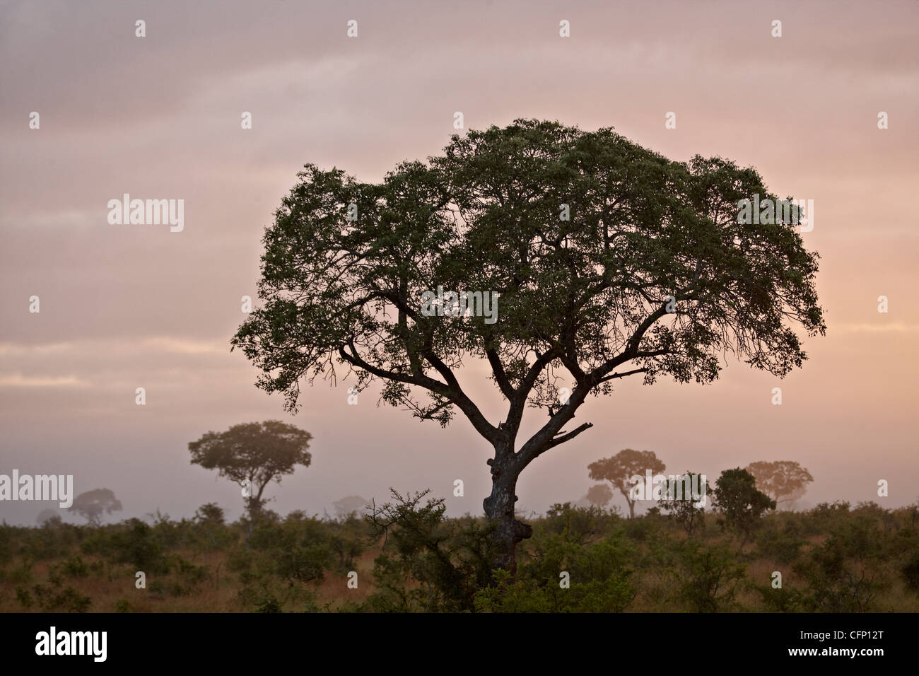 Trees in fog at dawn, Kruger National Park, South Africa, Africa - Stock Image