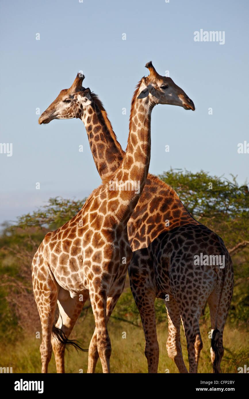 Two male Cape giraffe (Giraffa camelopardalis giraffa), Imfolozi Game Reserve, South Africa, Africa - Stock Image
