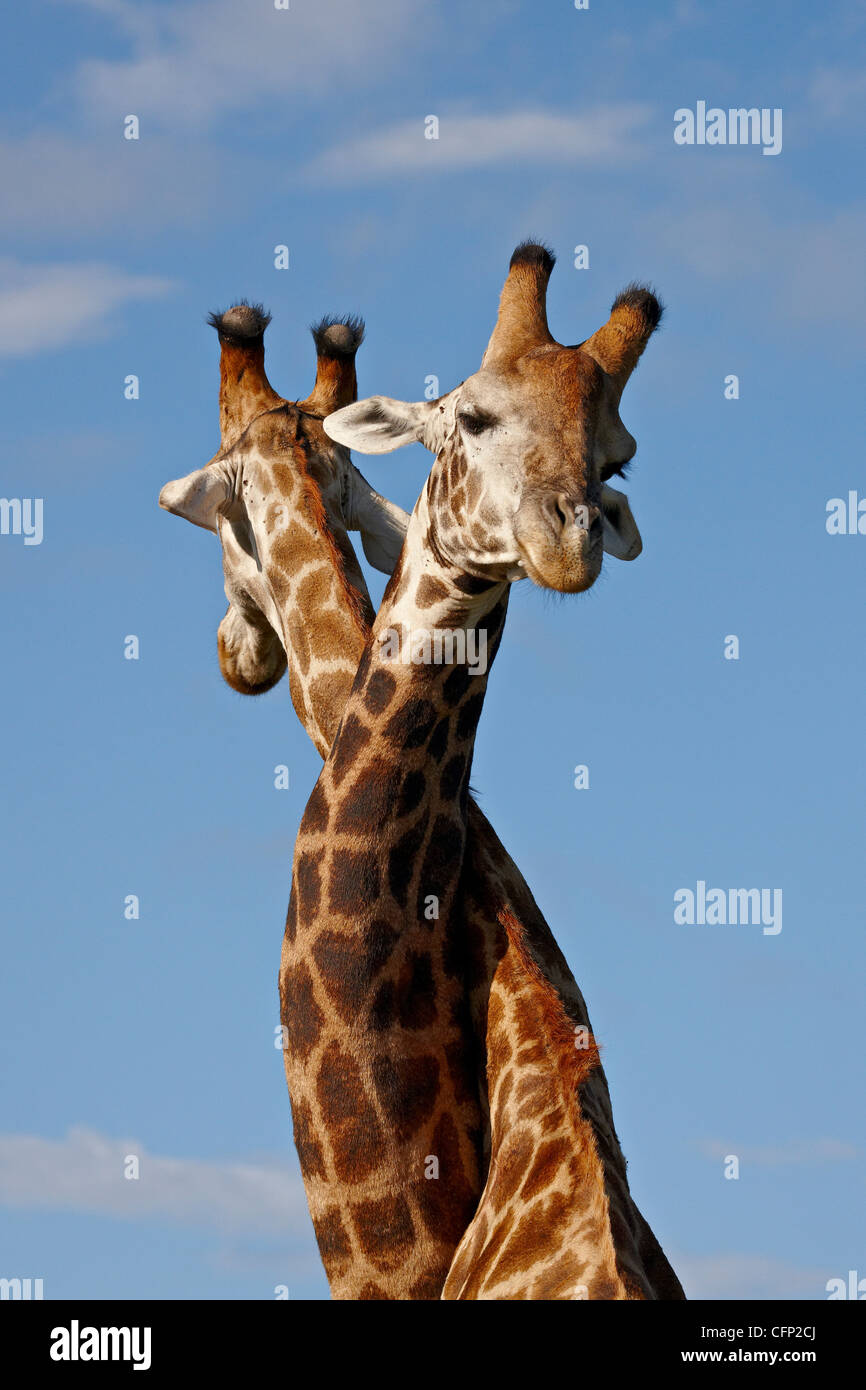 Two male Cape giraffe (Giraffa camelopardalis giraffa) fighting, Imfolozi Game Reserve, South Africa, Africa - Stock Image