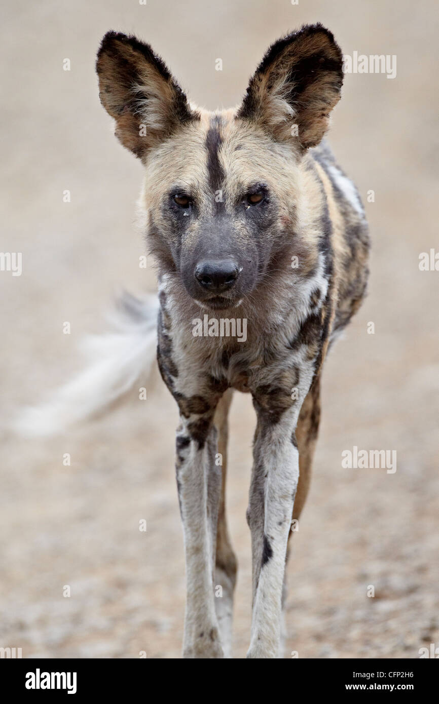 African wild dog (African hunting dog) (Cape hunting dog) (Lycaon pictus), Hluhluwe Game Reserve, South Africa, - Stock Image