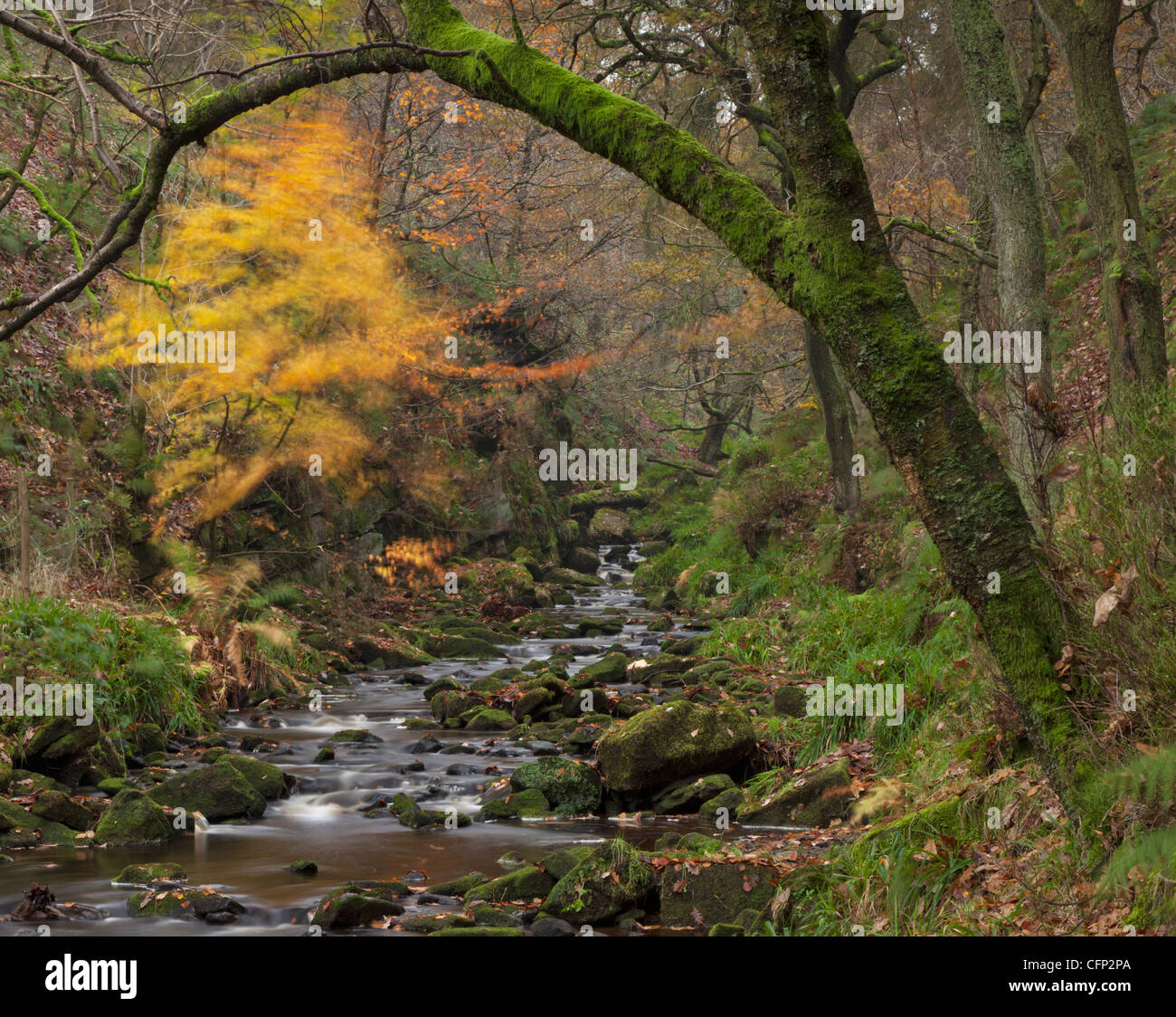 windy Golden Tree, Gradbach, the Roaches,Peak District National Park, England, UK - Stock Image