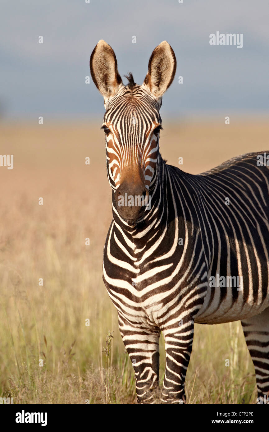 Cape mountain zebra (Equus zebra zebra), Mountain Zebra National Park, South Africa, Africa Stock Photo
