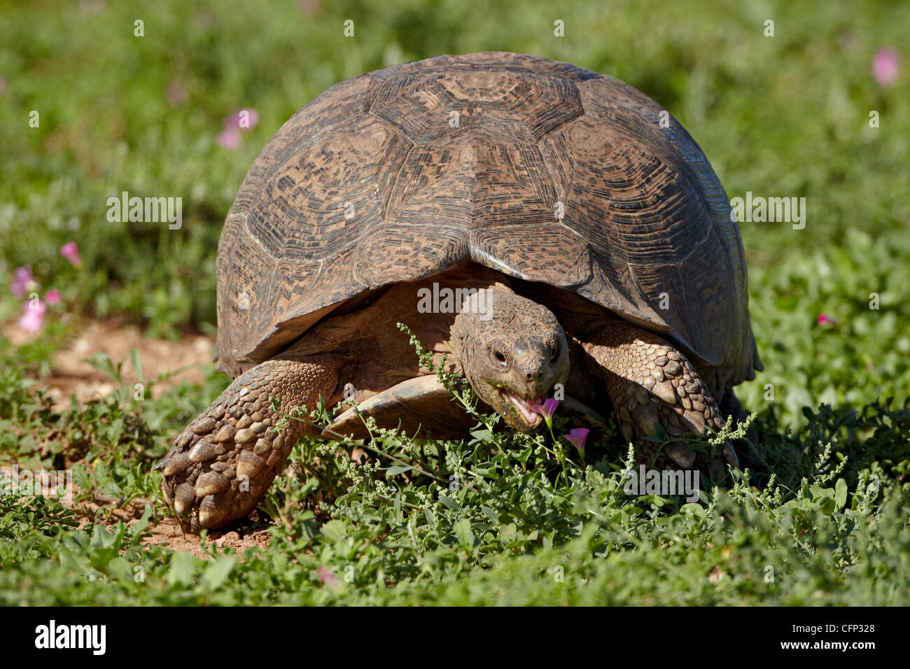 Leopard tortoise (Geochelone pardalis), Addo Elephant National Park, South Africa, Africa - Stock Image