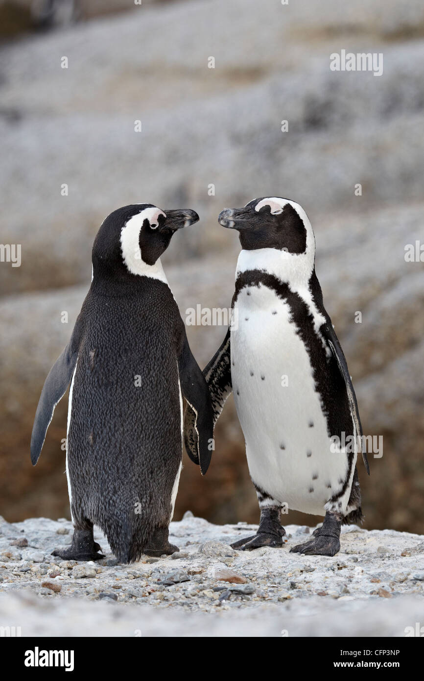 Two African penguins (Spheniscus demersus) pair, Simon's Town, South Africa, Africa - Stock Image