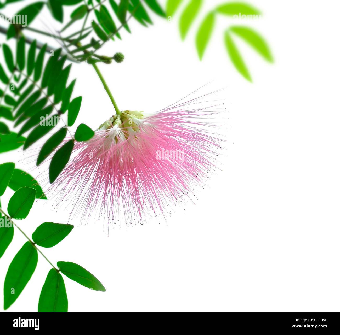 Blushing Sunburst Blossom On White Background - Stock Image