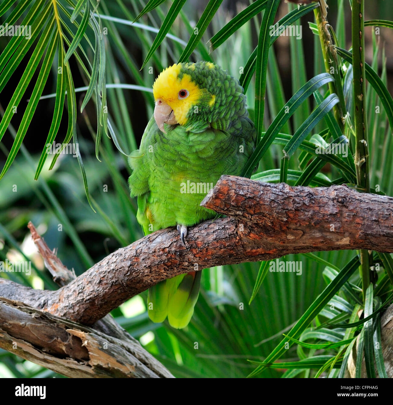 Colorful Green And Yellow Parrot Sitting On a Branch - Stock Image