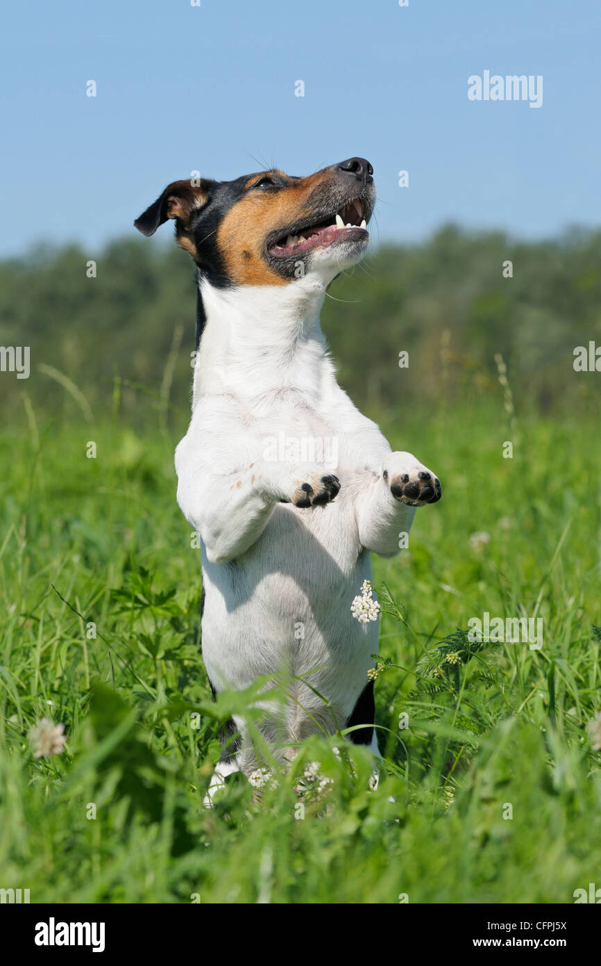Jack Russel dog begging in a meadow - Stock Image