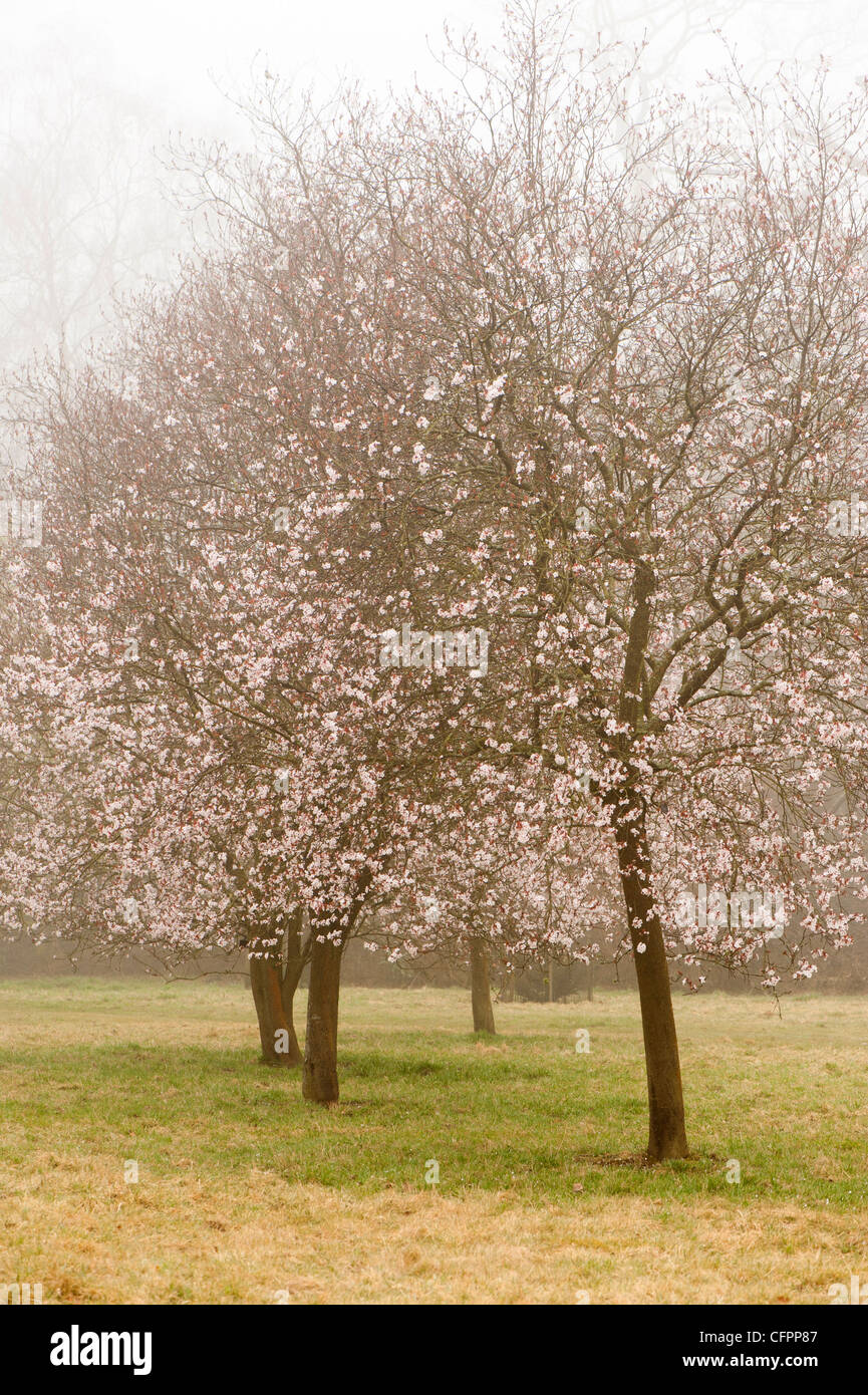 Prunus Cerasifera Diversifolia Cherry Plum Trees In Blossom