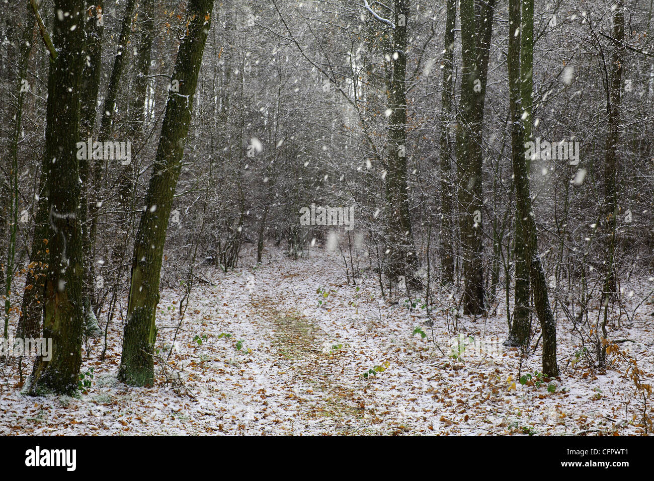 Forest road in snow-fall - Stock Image