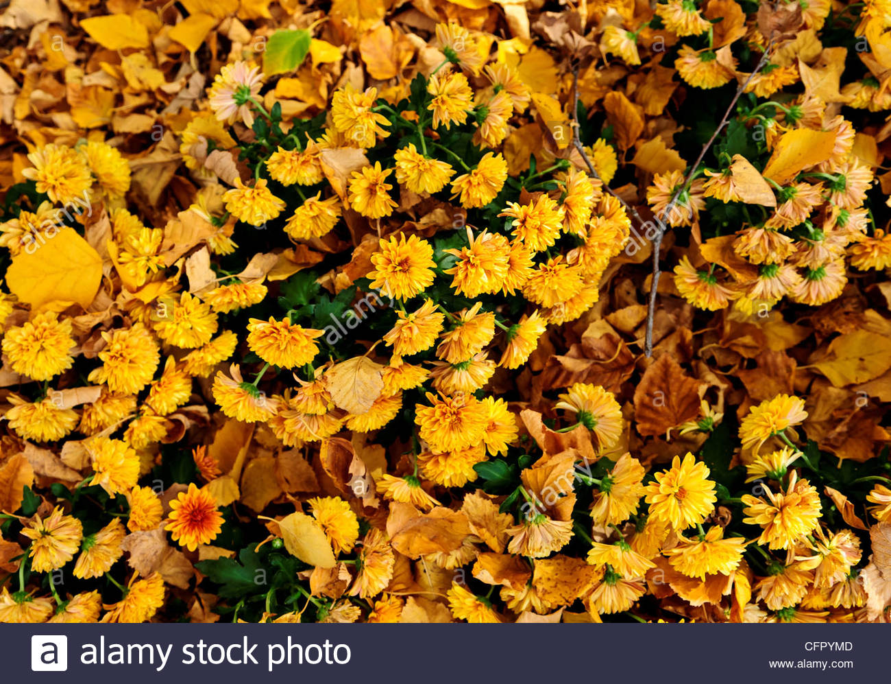 Yellow Chrysanthemums, Botanica, Wichita, Kansas, Sunday Oct 30, 2011 - Stock Image