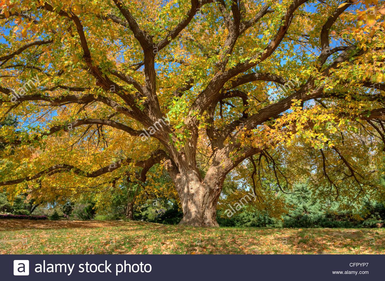 Elm Tree, Botanica, Wichita, Kansas, Sunday Oct 30, 2011 - Stock Image