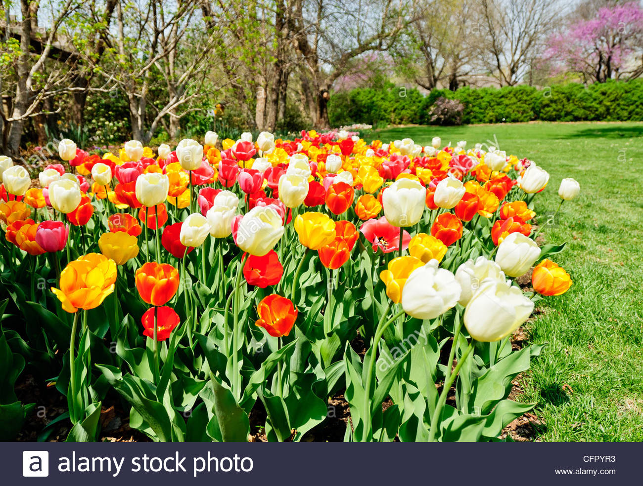 Muti-Colored Tulips, Botanica Gardens, Wichita, KS., April 9, 2011 - Stock Image