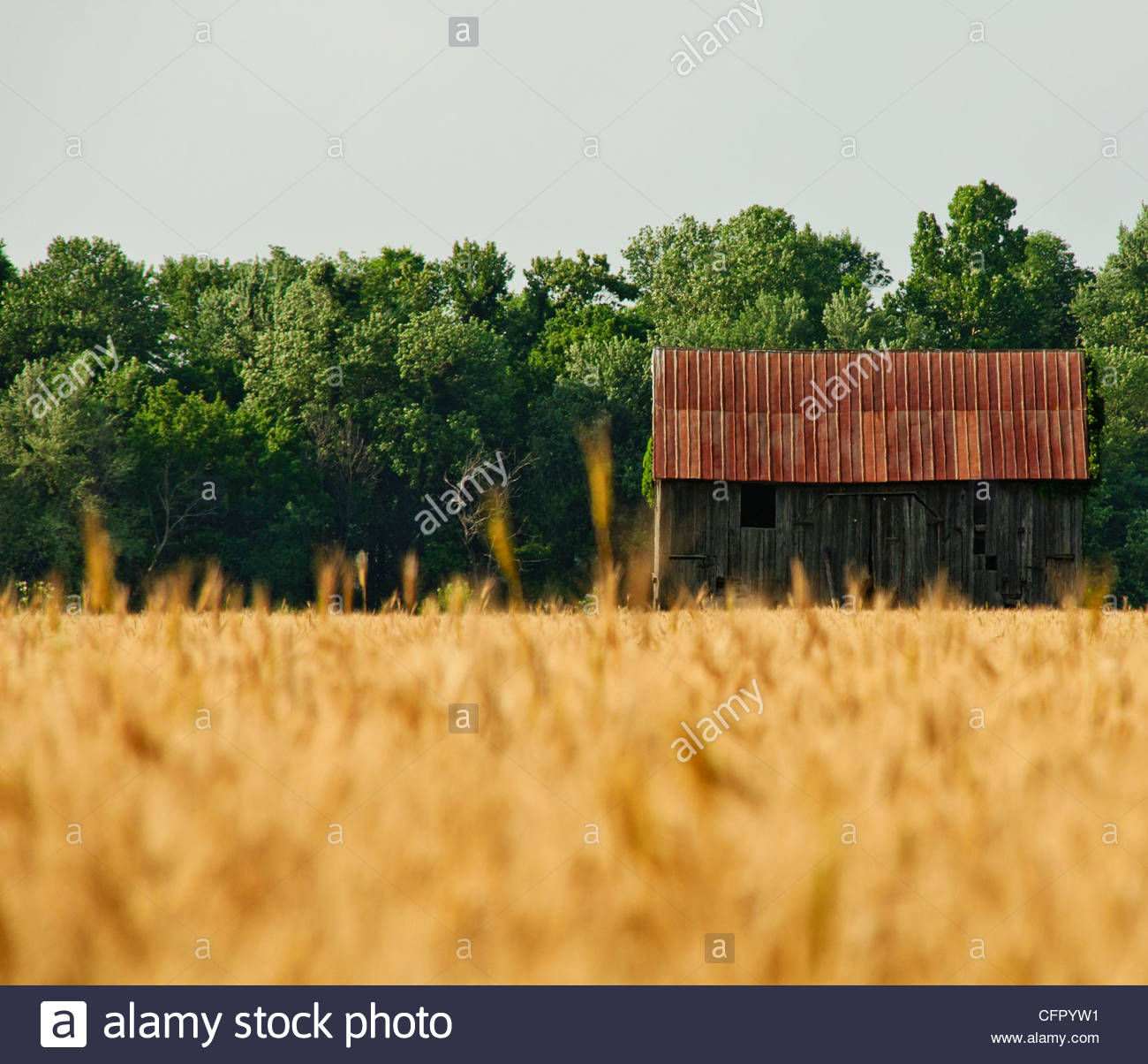 Rustic Barn in Wheat Field, Rural Sedan, KS, June 12, 2010 - Stock Image