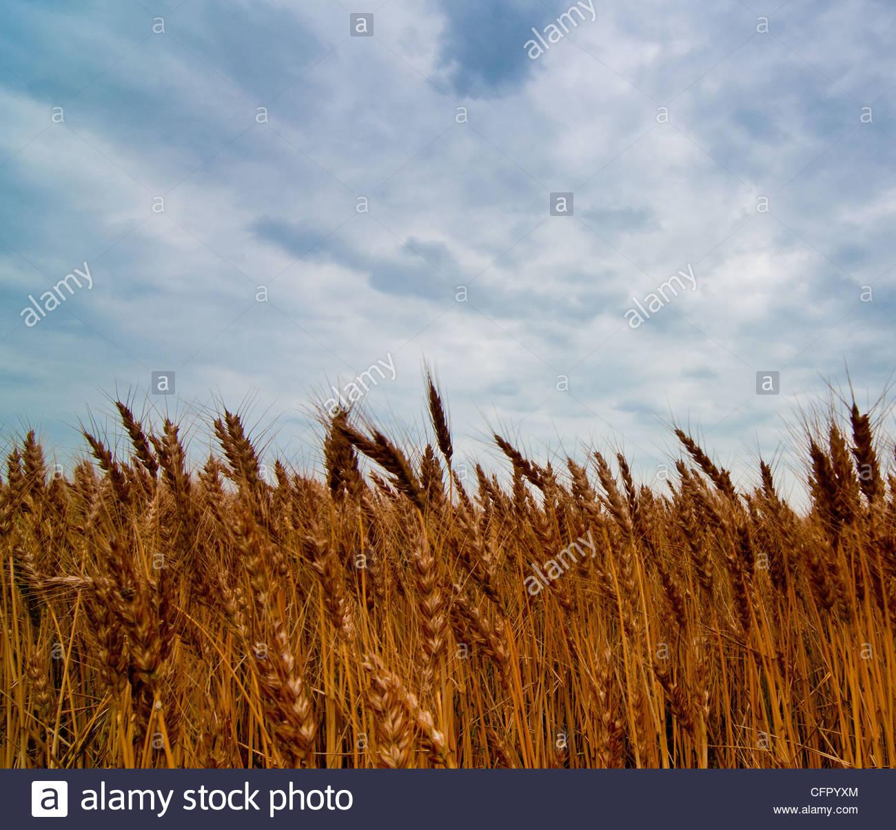 Kansas Wheat, Sumner County, KS, May 30, 2011 - Stock Image