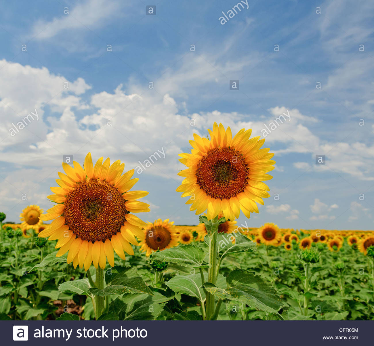Kansas Sunflowers, Sunflower crop, Partridge, KS, July 31, 2011 - Stock Image