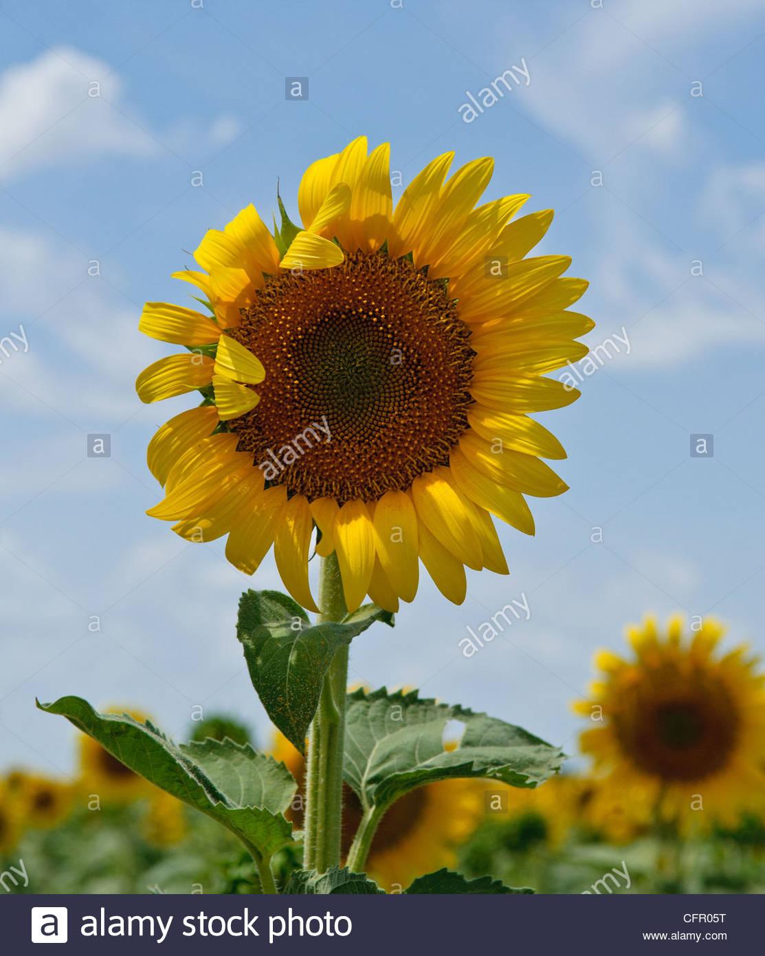 Individual Kansas Sunflowers, Sunflower crop, Partridge, KS, July 31, 2011 - Stock Image