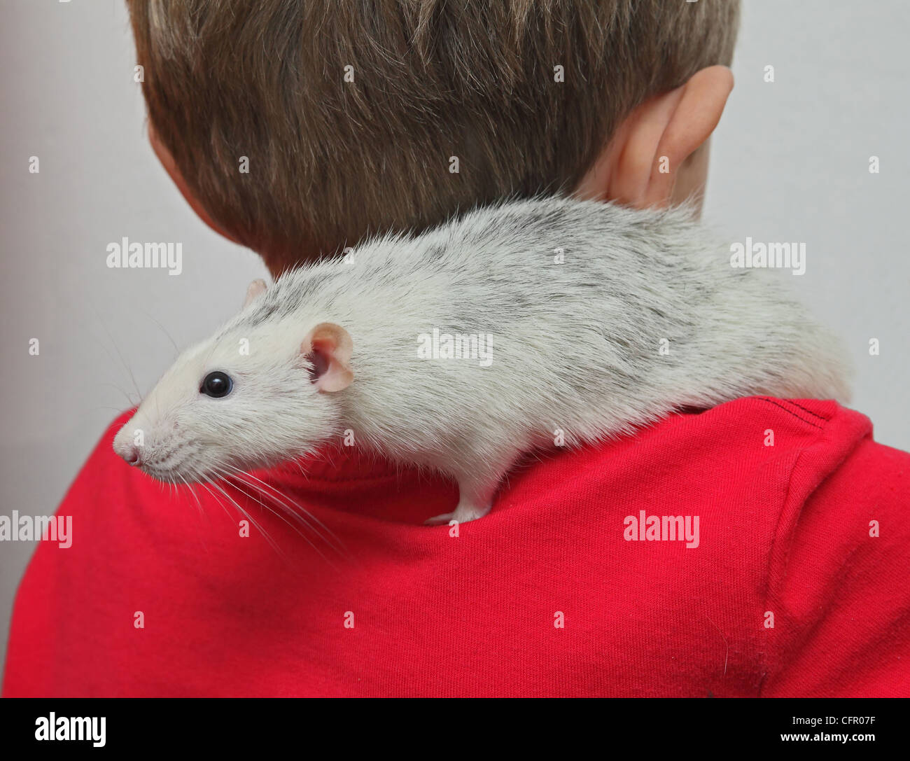 a boy with a home rat at the shoulder - Stock Image