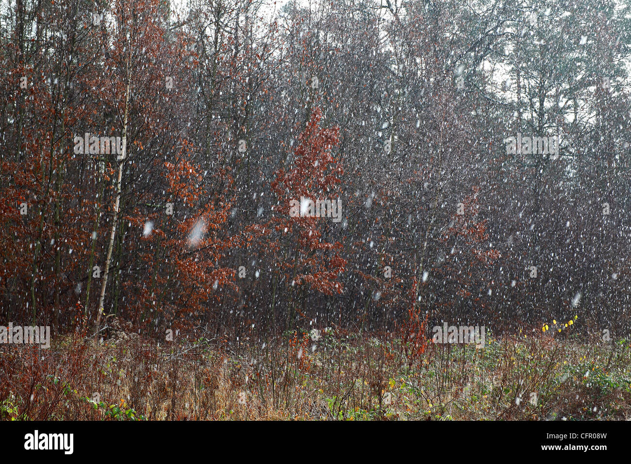 snow fall in forest Stock Photo