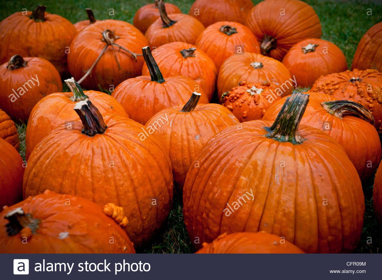 Pumpkins for Halloween, Wichita, KS, Oct 9, 2011 - Stock Image