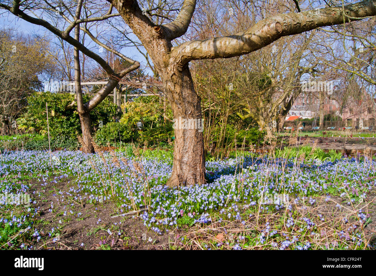 Bare japanese cherry trees with blue star hyacinth in spring stock bare japanese cherry trees with blue star hyacinth in spring izmirmasajfo