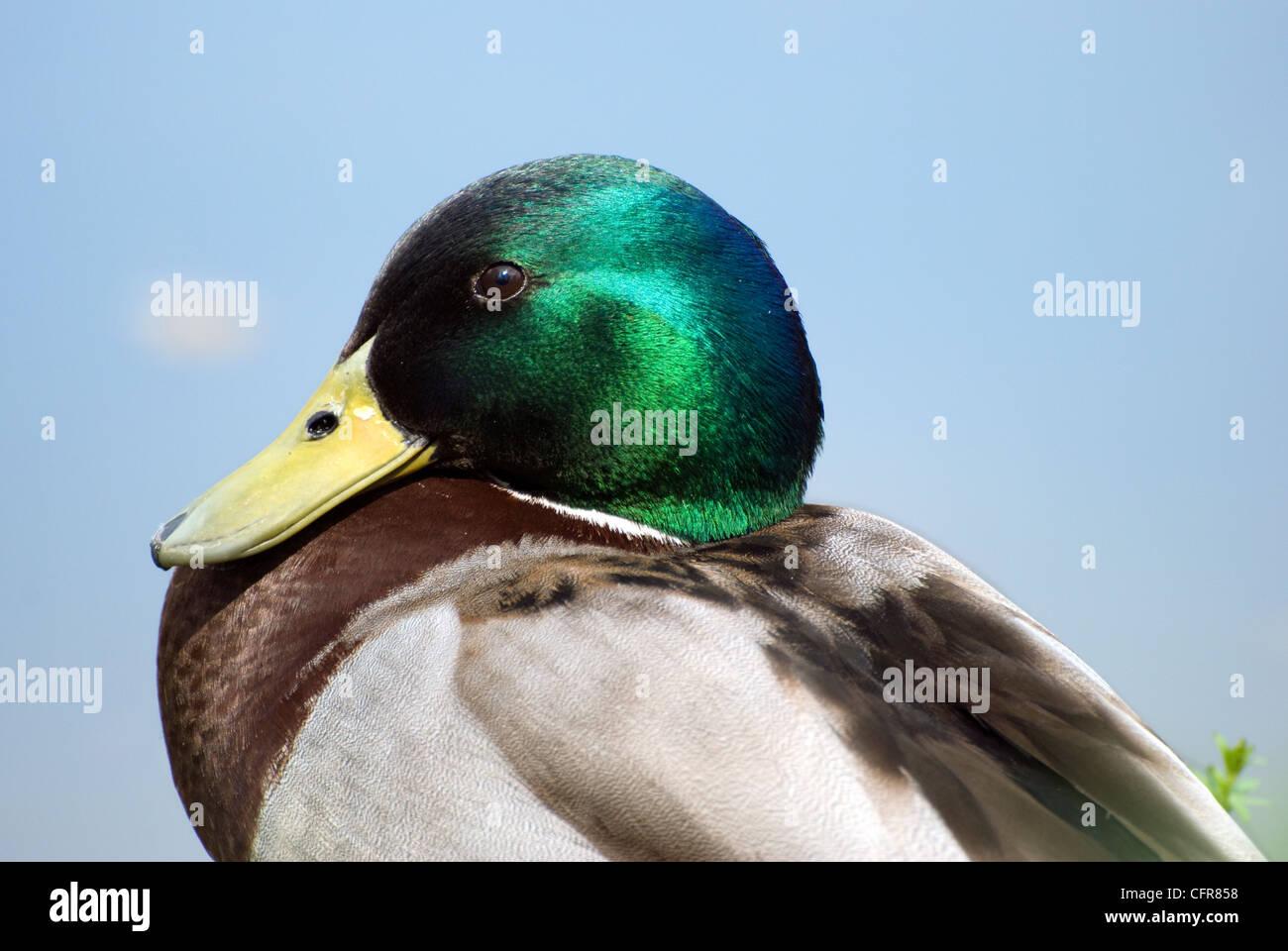 Close up shot of a male mallard duck, taken in Bristol, uk - Stock Image
