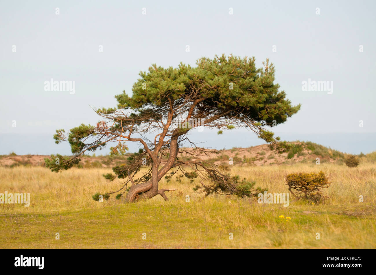 A twisted and wind blown pine tree at Yellowcraigs, East Lothian, Scotland. - Stock Image