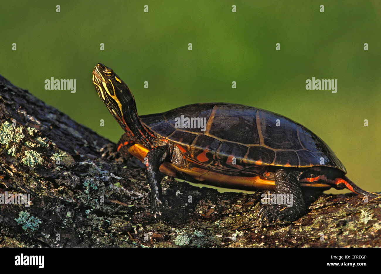 Eastern Painted Turtle (Chrysemys p. picta), Nova Scotia - Stock Image