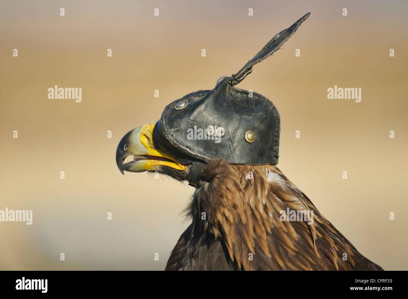 A Kazakh eagle hunter's golden eagle in the Altai Region of Bayan-Ölgii in Western Mongolia - Stock Image
