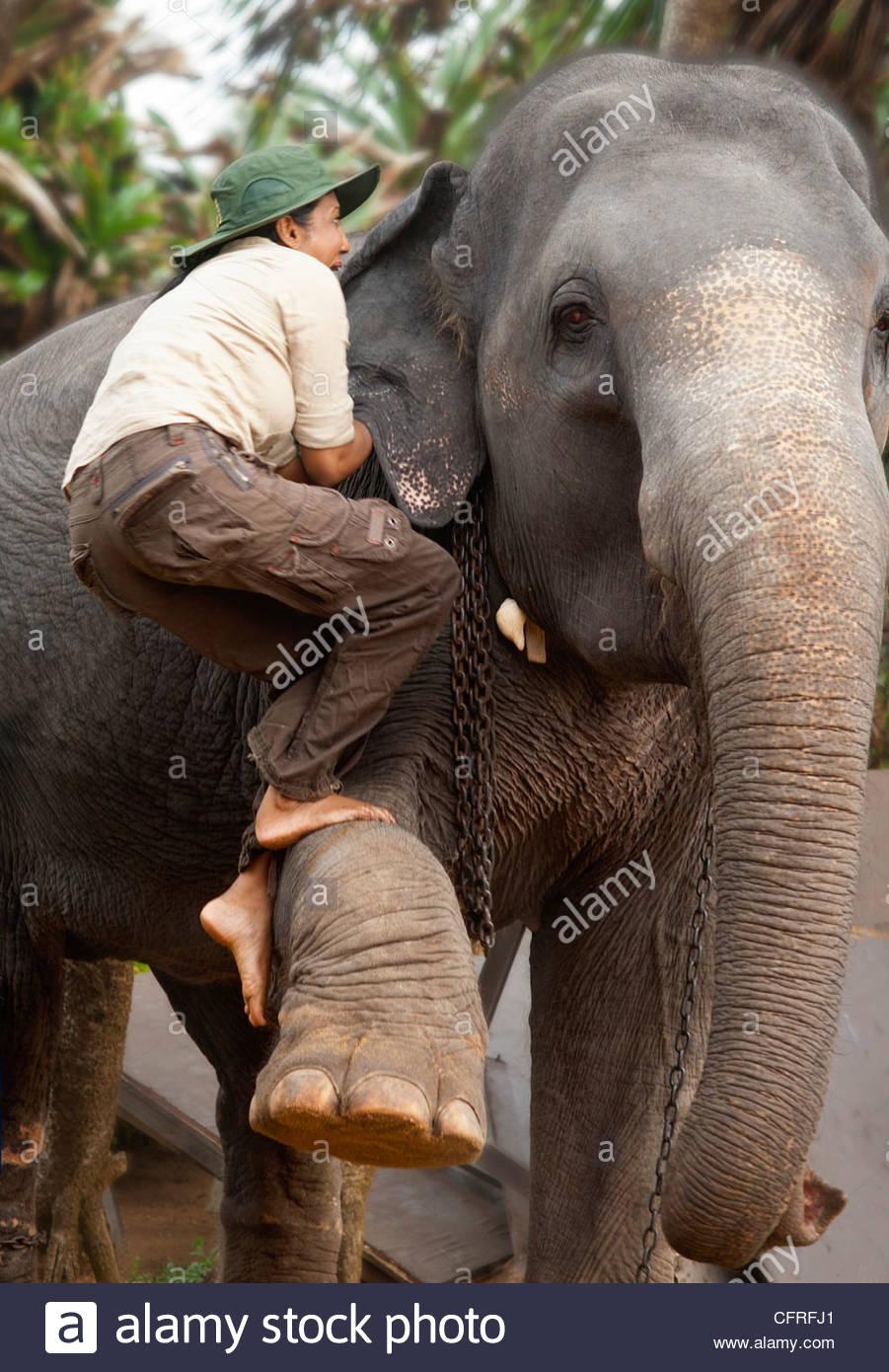 Sri Lankan woman climbing up an Asian elephant, Sri Lanka, Asia - Stock Image