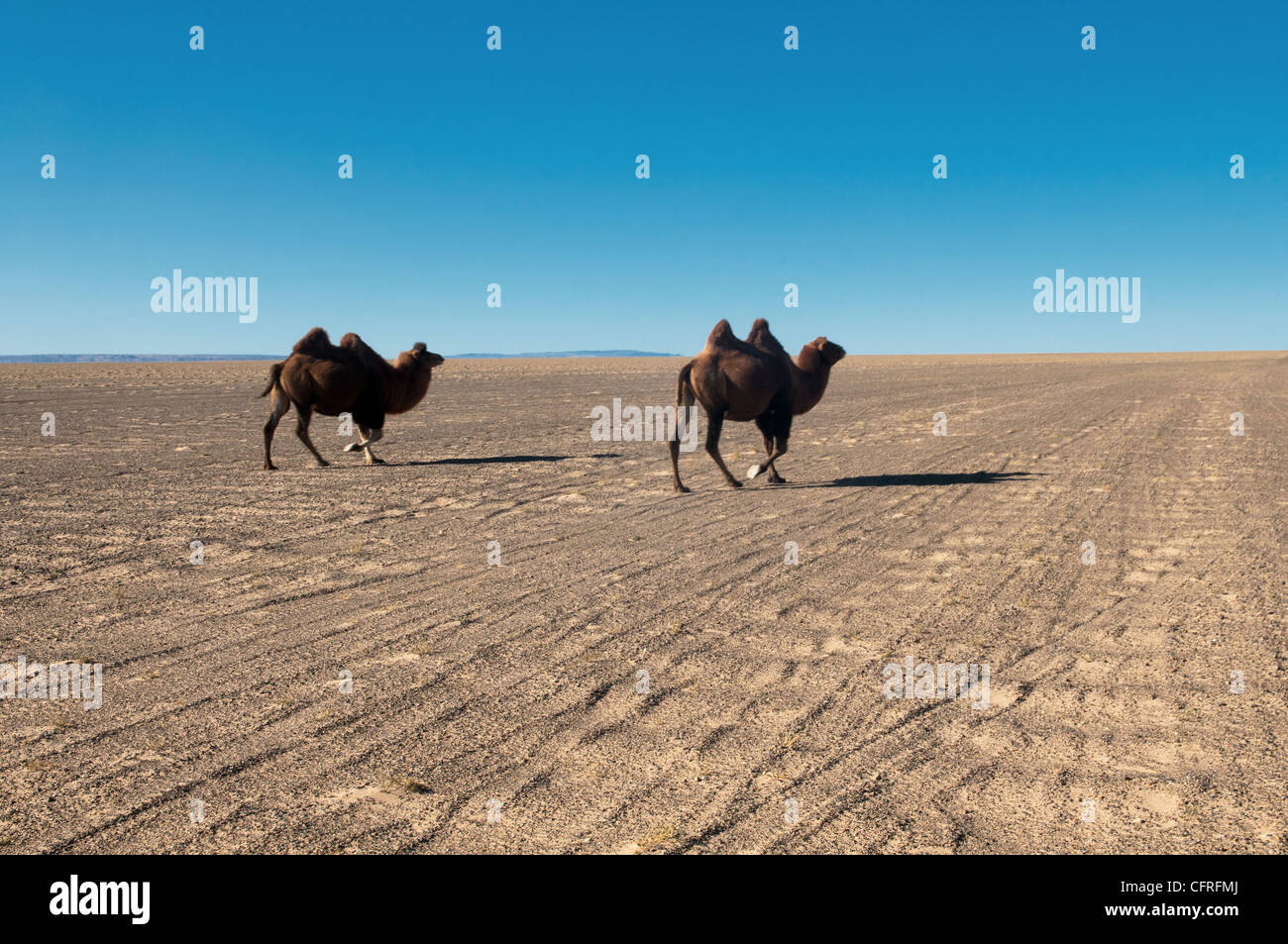 twin humped Bactrian camels in the Gobi Desert of Mongolia - Stock Image