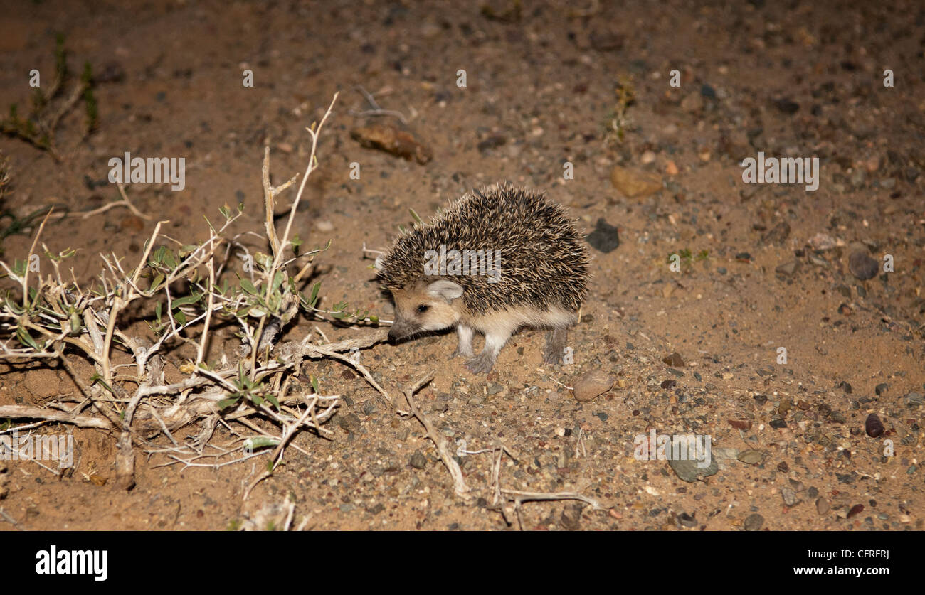 a long-eared hedgehog (Hemiechinus auritus) in the Gobi Desert of Mongolia - Stock Image