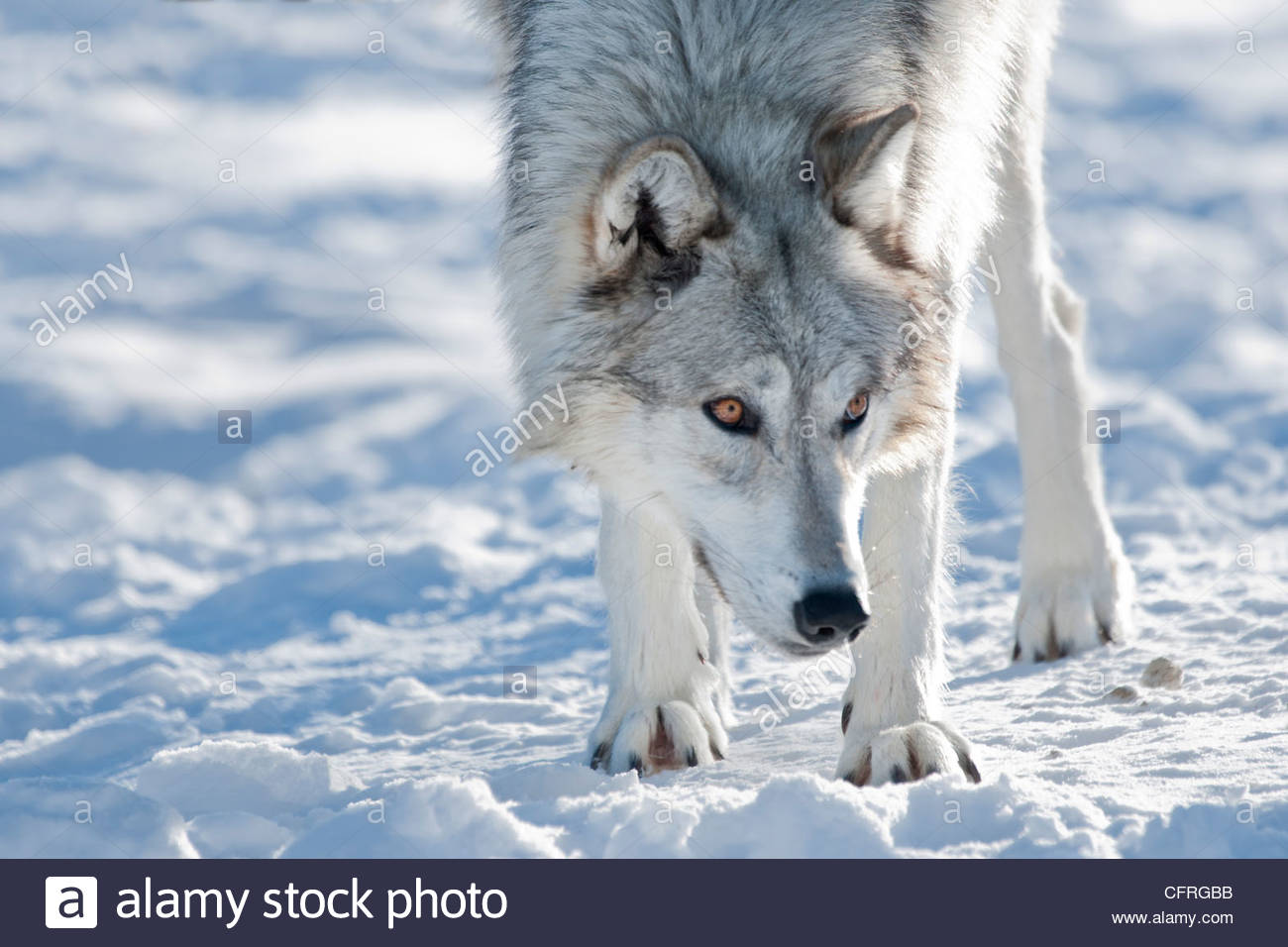 Alaskan Tundra wolf (Canis lupus tundrarum), Montana, United States of America, North America - Stock Image