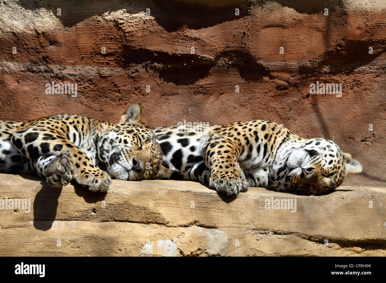 A pair of sleeping Jaguars, Panthera onca, laying on an overhang. Turtleback Zoo, West Orange, New Jersey. - Stock Image