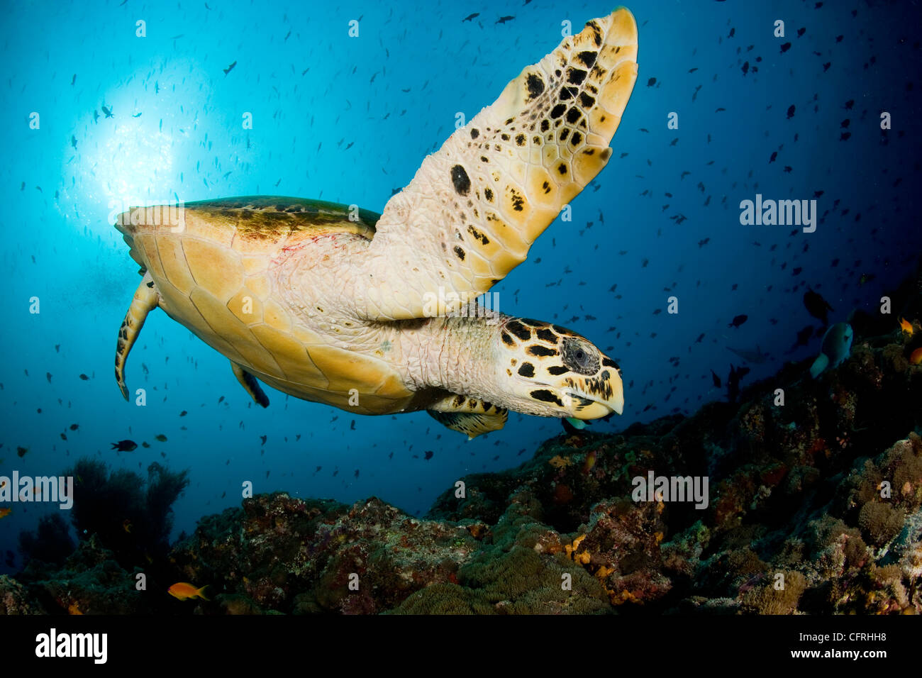 Hawksbill turtle, Critically endangered (IUCN), Maldives, Indian Ocean - Stock Image