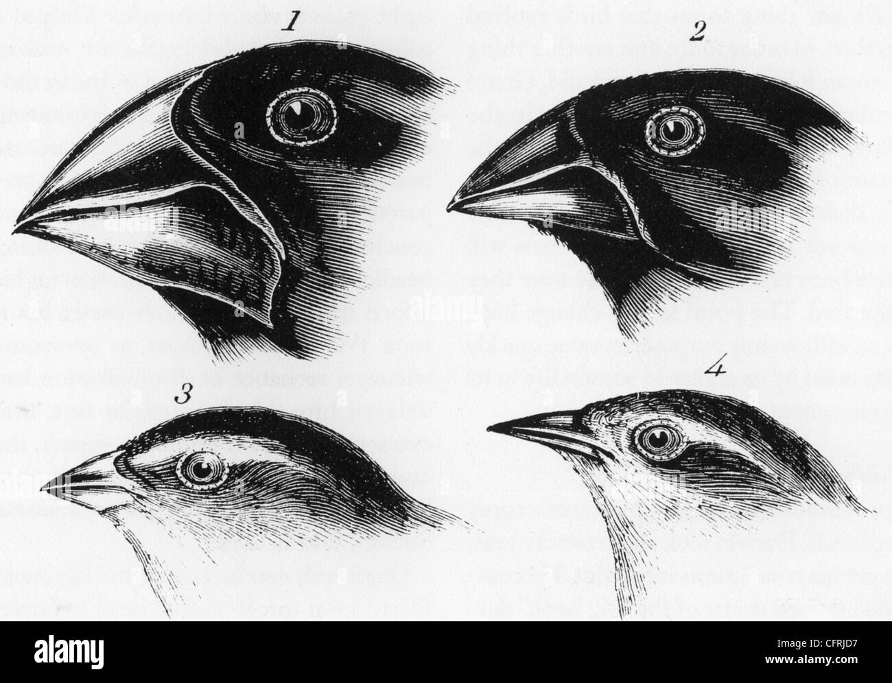CHARLES DARWIN's FINCHES 1845. See Description below for names - Stock Image