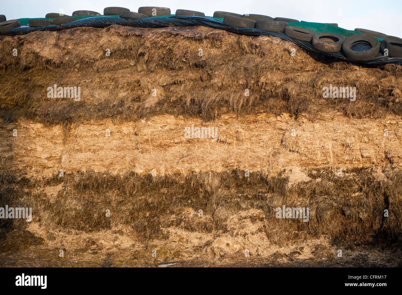 Face of silage clamp, showing different layers of crop. - Stock Image
