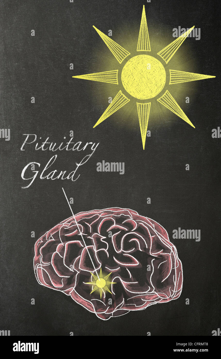Illustration in chalk of a human brain with a Sun above it and an arrow pointing to the Pituitary Gland, on a blackboard - Stock Image