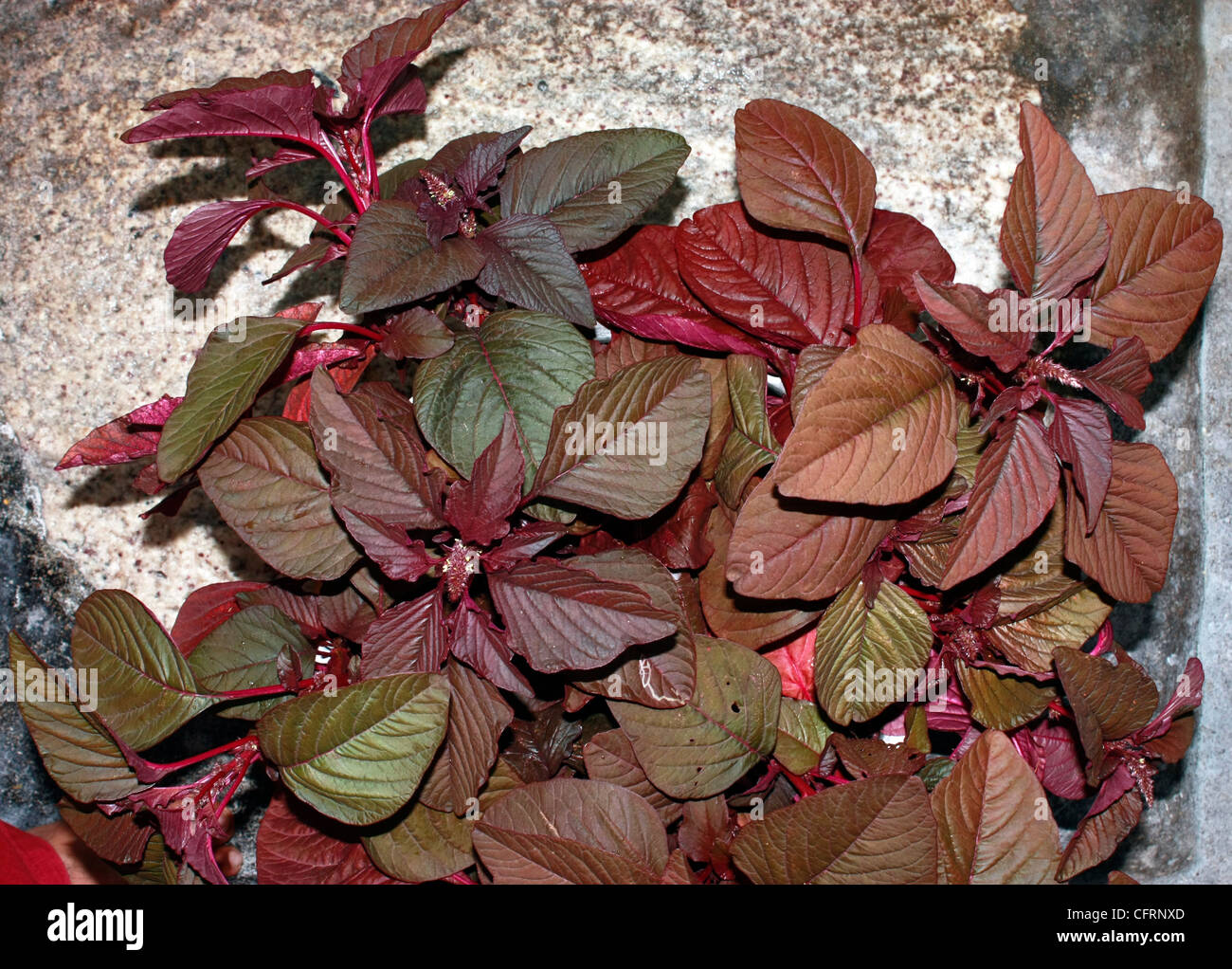 A vegetable plant  , Chinese spinach or red spinach ( Amaranthus dubius ) - Stock Image