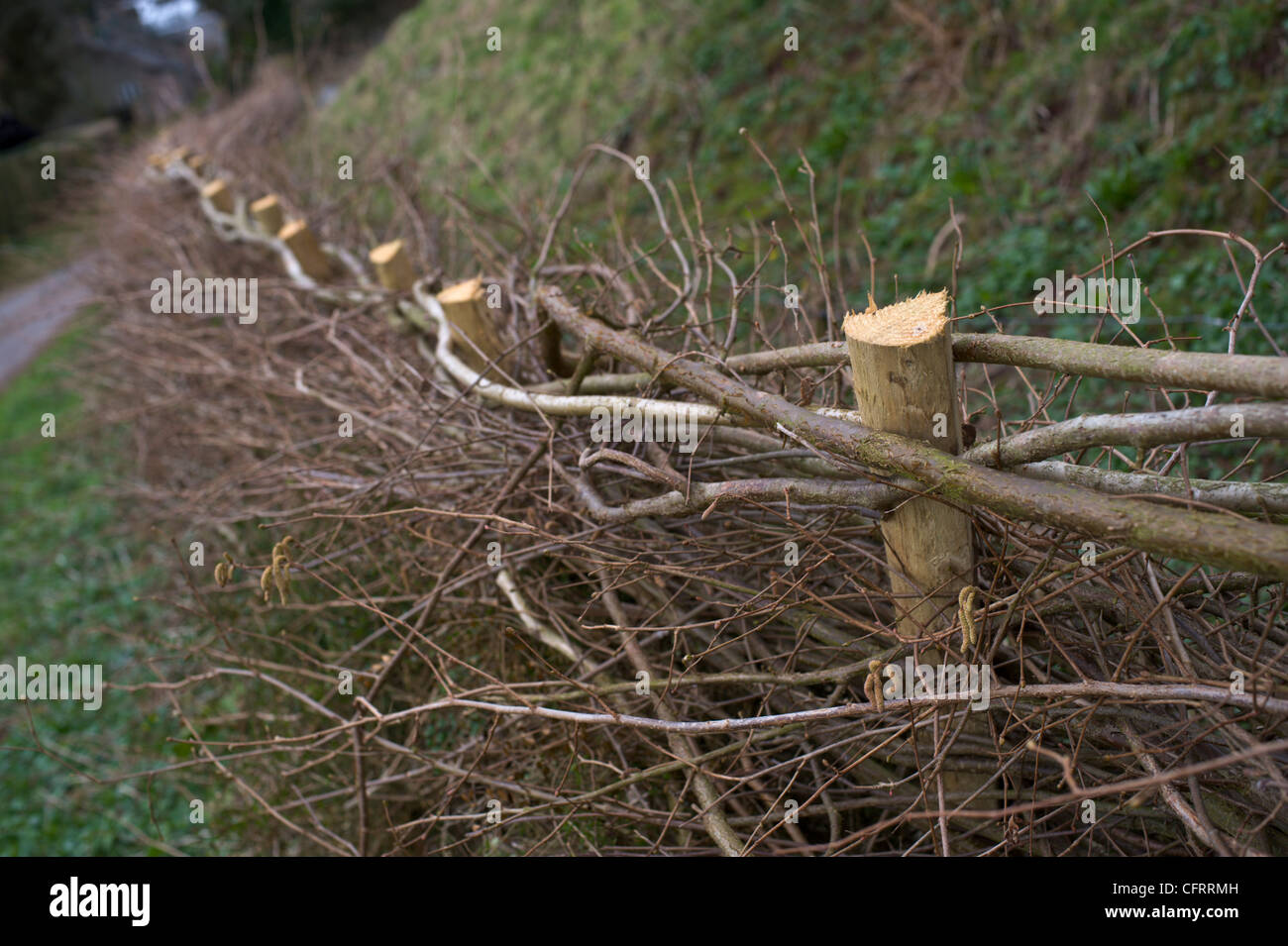 Newly laid hedge in rural village of Cusop Herefordshire England UK - Stock Image