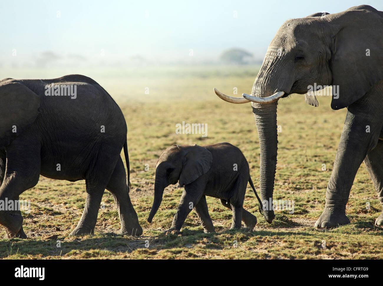 Baby elephant, Amboseli National Park, Kenya. - Stock Image