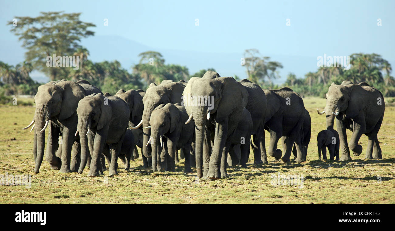 A herd of elephants, Amboseli National Park, Kenya. - Stock Image