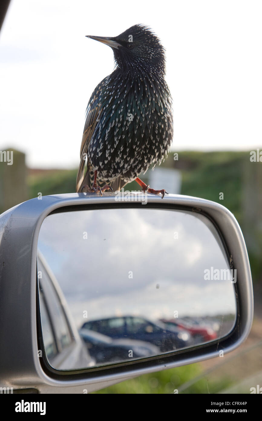 Tame starling perched on a car wing mirror - Stock Image