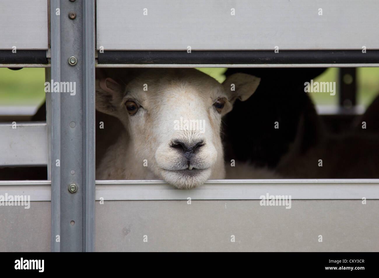 Transporting Sheep Stock Photos & Transporting Sheep Stock