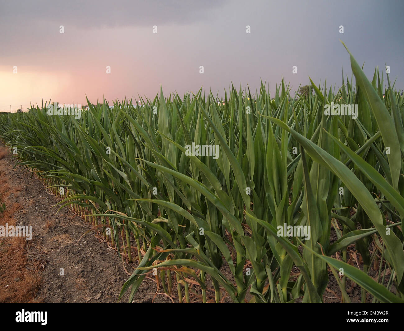 An approaching thunderstorm promises to bring some relief to a corn farm in Franklin, Johnson County, Indiana, though - Stock Image