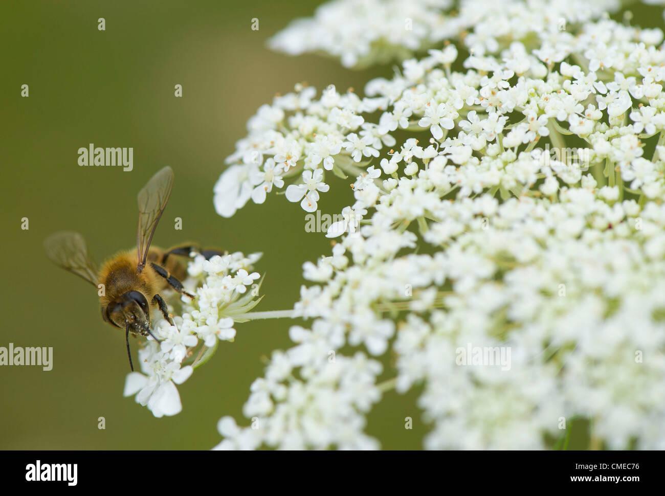 July 29 2012 Roseburg Oregon U S A Honey Bee Feeds On A Queen