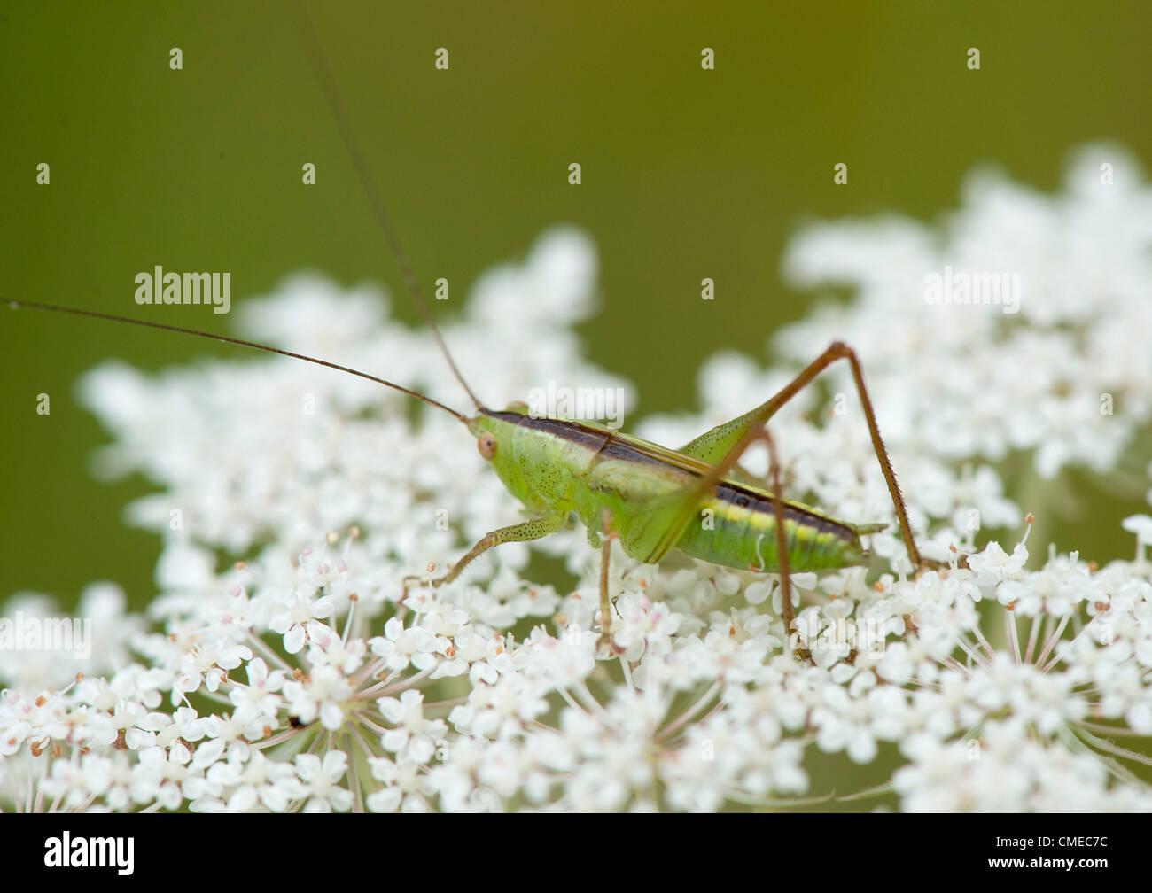 July 29 2012 Roseburg Oregon U S A Jumping Insect Perches On
