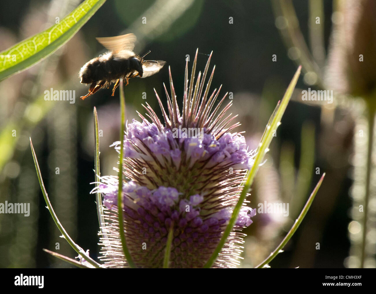 Aug. 9, 2012 - Roseburg, Oregon, U.S - A native bee forages on a wildflower growing in a wetland near a roadway - Stock Image